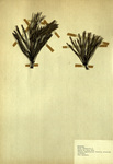Scotch or Scots Pine